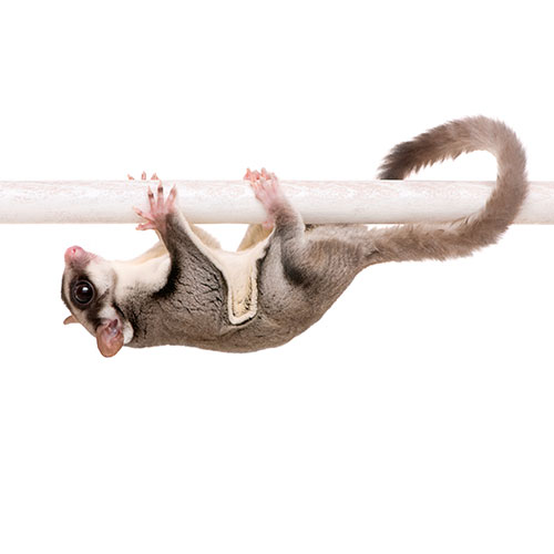 Pets answer: SUGAR GLIDER