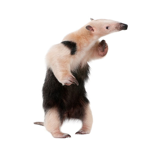 Pets answer: TAMANDUA