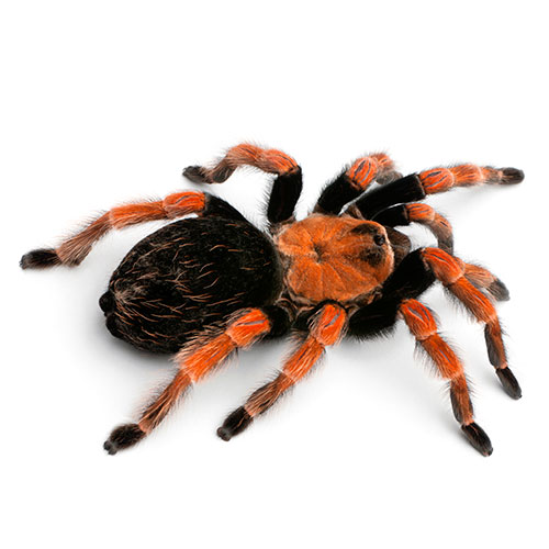 Pets answer: TARANTULA