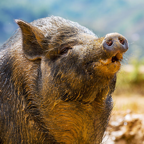 Pets answer: VIETNAMESE PIG