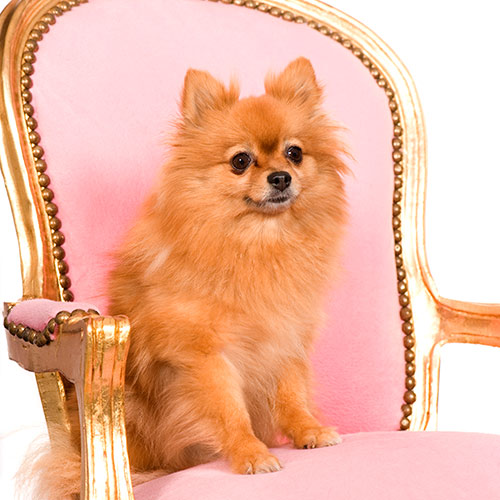 P is for... answer: POMERANIAN