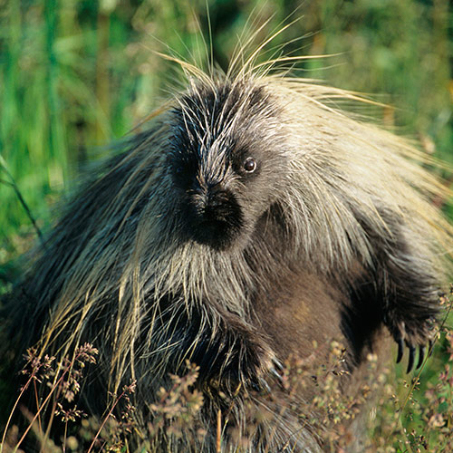 P is for... answer: PORCUPINE