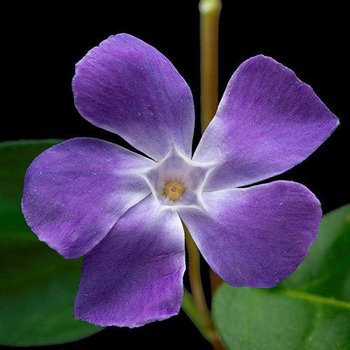 P is for... answer: PERIWINKLE