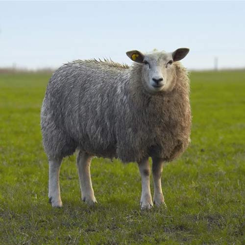 Science answer: DOLLY THE SHEEP