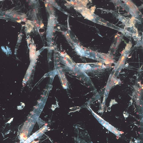 Science answer: KRILL