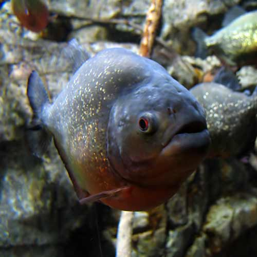 Secret Agent answer: PIRANHA