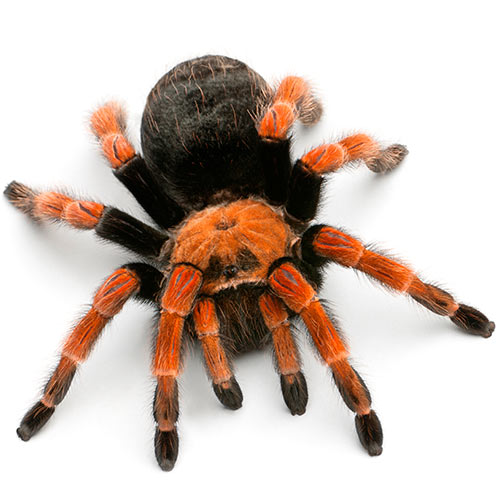 Secret Agent answer: TARANTULA