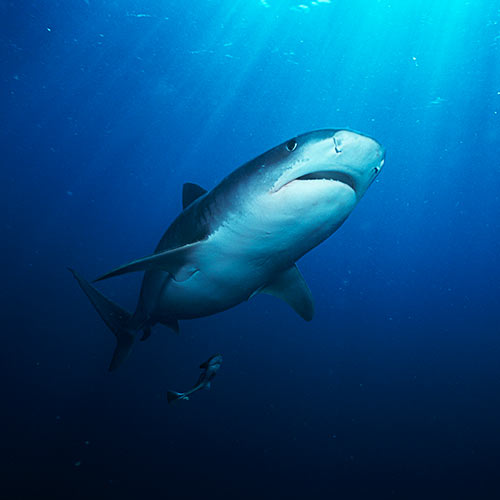 Secret Agent answer: TIGER SHARK