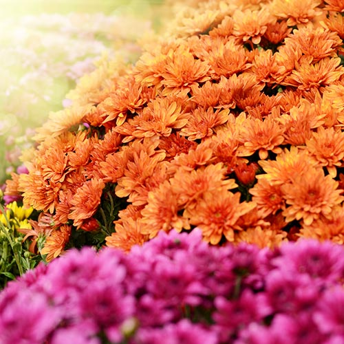 Spring answer: CHRYSANTHEMUMS