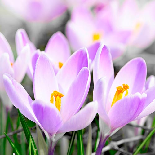 Spring answer: CROCUS
