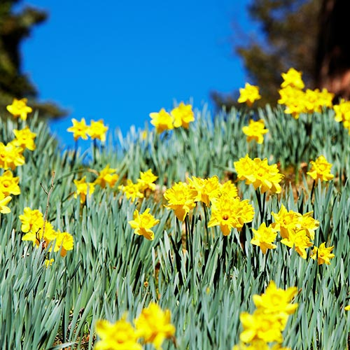 Spring answer: DAFFODILS