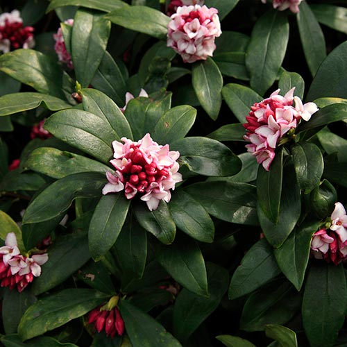 Spring answer: DAPHNE