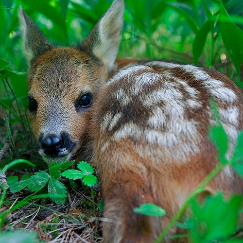 Spring answer: FAWN