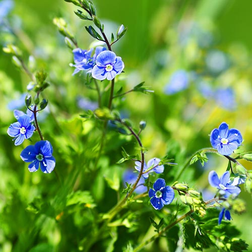 Spring answer: FORGET-ME-NOT