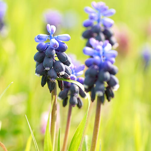 Spring answer: HYACINTH