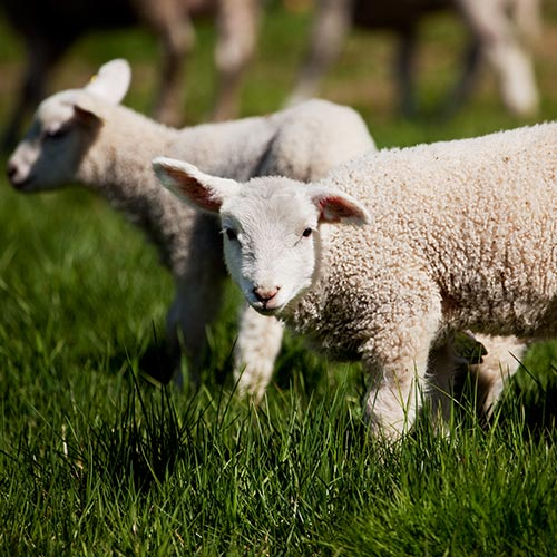 Spring answer: LAMBS