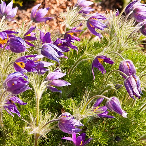 Spring answer: PASQUE FLOWER