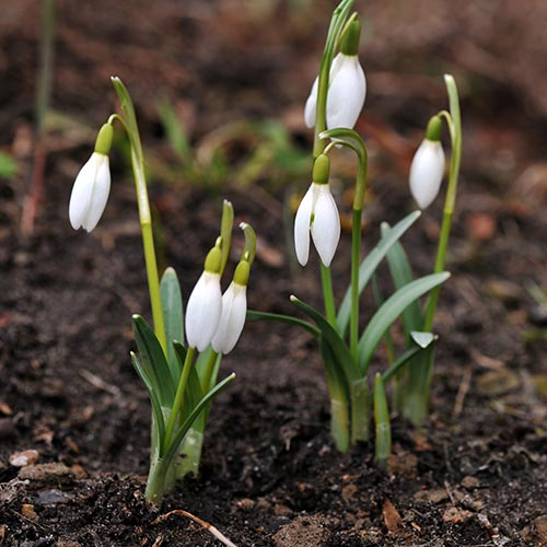Spring answer: SNOWDROPS