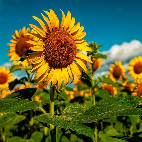 Spring answer: SUNFLOWERS