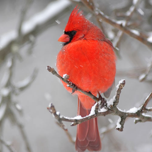 Winter answer: CARDINAL