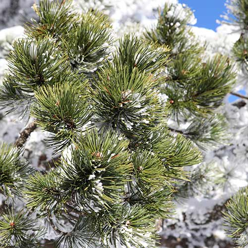 Winter answer: EVERGREEN