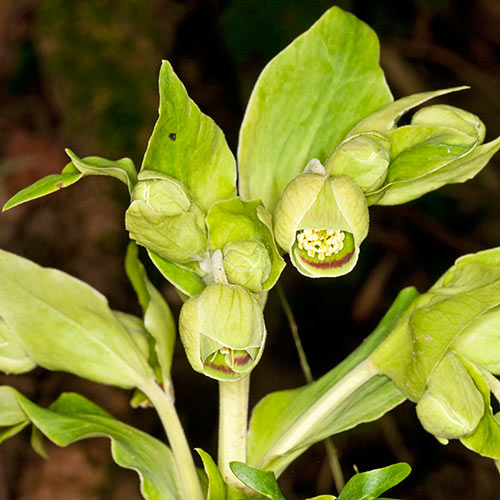 Winter answer: HELLEBORE