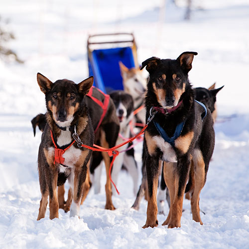Winter Sports answer: SLED DOGS