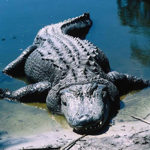 Amérique du Nord answer: ALLIGATOR