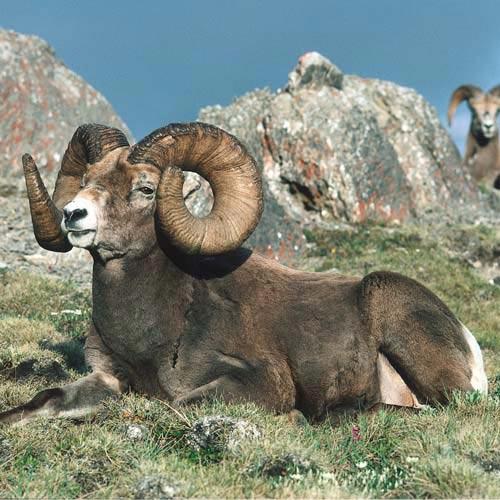 Amérique du Nord answer: MOUFLON