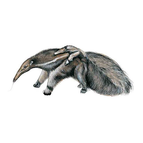 Animal Kingdom answer: GIANT ANTEATER