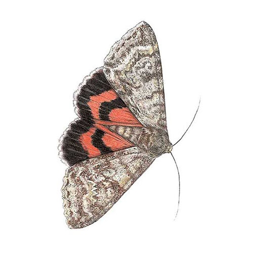 Animal Kingdom answer: RED UNDERWING