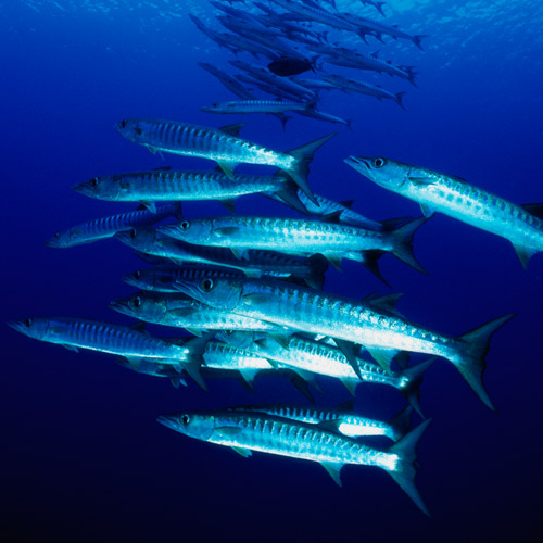 Animal Planet answer: BARRACUDA