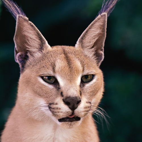 Animal Planet answer: CARACAL