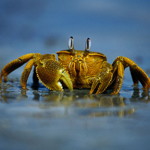 Animal Planet answer: CRABE