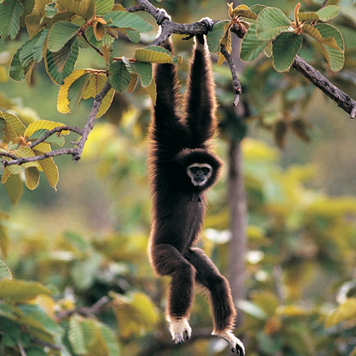 Animal Planet answer: GIBBON
