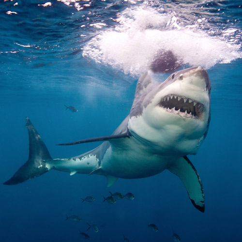 Animal Planet answer: REQUIN BLANC