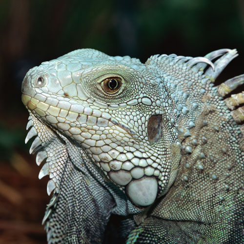 Animal Planet answer: IGUANE