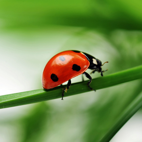 Animal Planet answer: COCCINELLE