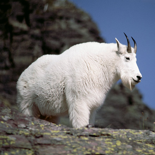 Animal Planet answer: MOUNTAIN GOAT