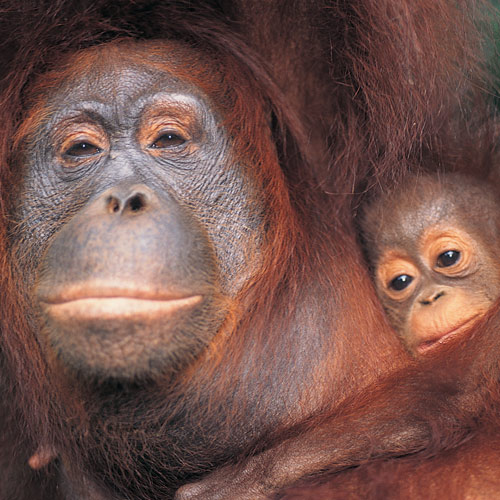 Animal Planet answer: ORANG-OUTAN
