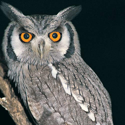 Animal Planet answer: HIBOU