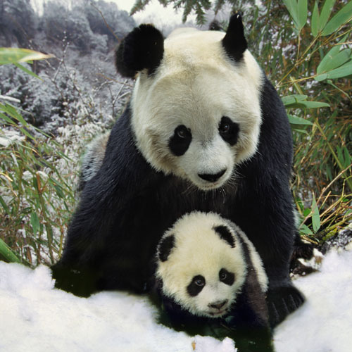 Animal Planet answer: PANDA