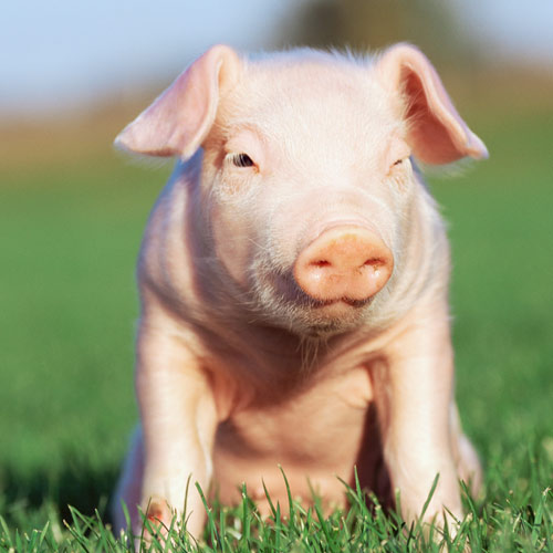 Animal Planet answer: COCHON