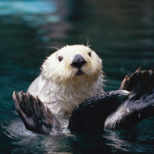 Animal Planet answer: LOUTRE DE MER