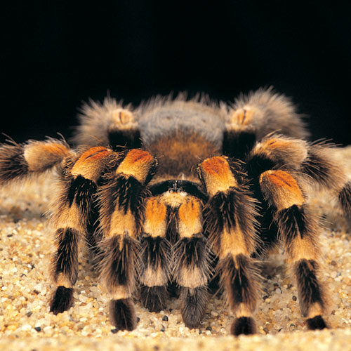 Animal Planet answer: TARANTULE