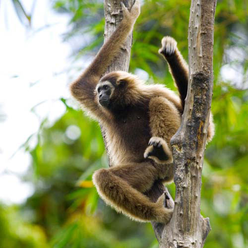 Animaux answer: GIBBON