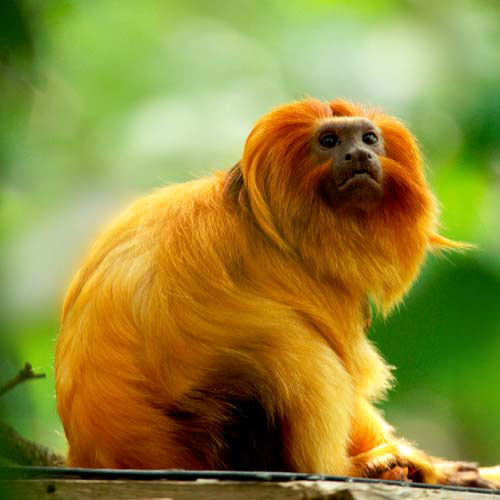 Animaux answer: TAMARIN