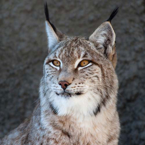Animaux answer: LYNX DU CANADA