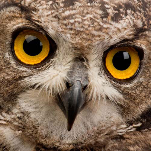 Animaux answer: HIBOU
