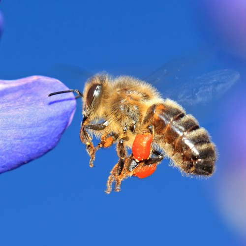 Animaux answer: ABEILLE